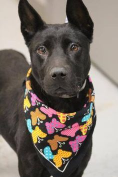 ADOPTED> NAME: Jingle  ANIMAL ID: 34218171  BREED: retriever mix  SEX: female(spayed)  EST. AGE: 6 mos  Est Weight: 32 lbs  Health: heartworm neg  Temperament: dog friendly, people friendly  ADDITIONAL INFO: RESCUE PULL FEE: $35  Intake date: 12/14  Available: Now