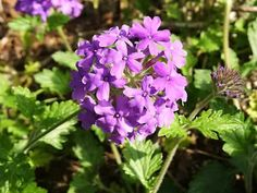 An easy to understand guide to growing and caring for Verbena plants, with light and watering requirements, growing tips, propagation methods and photos Verbena Plant, Sunflower House, My Flower, Flowers, Backyard Privacy, Sun Plants, Outdoor Living, Gardening, Full Sun Plants