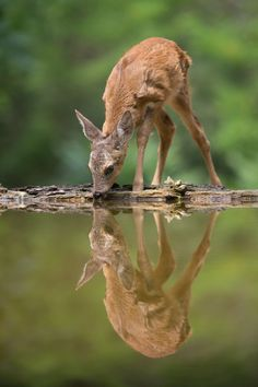 "beautiful-wildlife: ""Bambi takes a refreshing drink by Andreas Hemb """