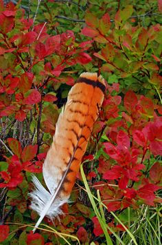 Red-tailed hawk feather and mountain huckleberry bush in fall. Red Tail Hawk Feathers, Red Feather, Feather Art, Feather Tattoos, Bird Feathers, Tatoos, Dandelion Tattoos, Phoenix Feather, Painted Feathers