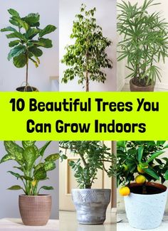 These beautiful trees thrive indoors while adding beauty, intrigue and cleansing and purifying the air. These beautiful trees thrive indoors while adding beauty, intrigue and cleansing and purifying the air. Try adding one or two to your home. Best Indoor Trees, Tall Indoor Plants, Indoor Trees Low Light, Indoor House Plants, Tropical House Plants, Easy House Plants, Low Light Plants, Compost, Household Plants