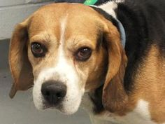 BIG JOHN is an adoptable Beagle Dog in Beechbottom, WV. �� � Our Beagle boy BIG JOHN� has waited so very long for his forever home. As you can tell by his face, he is miserable & lonely here in the sh...