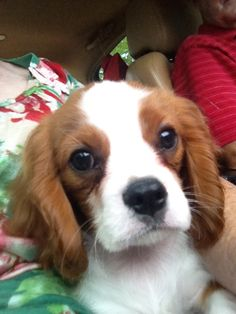 Willoughby - Cavalier King Charles Spaniel