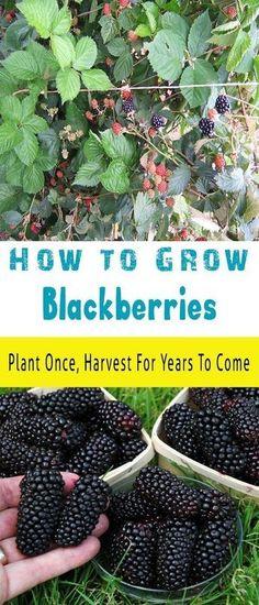 How to Grow Blackberries #Organic_Gardening #organicgardeningtips #containervegetablegardeningideas