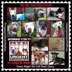 """11BEAUTIFIL LIVES TO BE DESTROYED 07/29/17  @ NYC ACC **SO MANY GREAT DOGS HAVE BEEN KILLED: Puppies, Throw Away Mamas, Good Family Dogs. This is a HIGH KILL """"CARE CENTER"""" w/ POOR LIVING CONDITIONS. Please Share: To rescue a Death Row Dog, Please read this: http://information.urgentpodr.org/adoption-info-and-list-of-rescues"""