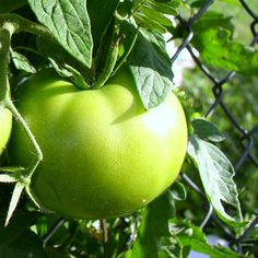 North and South Recipes for Fried Green Tomatoes, Ff vertalen maar dan heb je wat