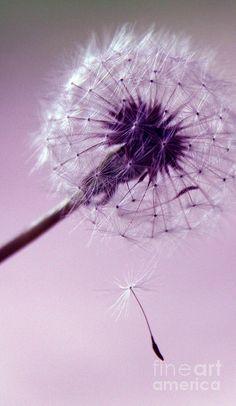 Dandelion - Purple Photograph  - Dandelion - Purple Fine Art Print