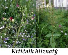http://www.bylinkyprovsechny.cz/byliny-kere-stromy/byliny/97-krticnik-ucinky-na-zdravi-co-leci-pouziti-uzivani-vyuziti