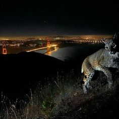 @Regrann from @natgeo -  @natgeo @stevewinterphoto Here is a bobcat overlooking the Golden Gate Bridge and San Francisco. An outtake from my cougar story. Before setting up in Griffith Park in LA and getting the Hollywood Cougar - I had cameras above the Golden Gate Bridge on a ridge line in Marin County overlooking San Francisco. Though there were signs of a cougar - I never got an image of one - so I moved the cameras to LA.  As we branch out of our cities looking for new homes we move…