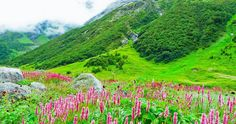 Visit the world heritage sight of Valley of Flowers in Uttarakhand with The Holiday India. Book a Tour Package to the Valley of Flowers for colourful memories. Romantic Honeymoon Destinations, Amazing Destinations, Prado, Alpine Flowers, Valley Of Flowers, Especie Animal, Himalaya, Flower Packaging, Last Minute Travel