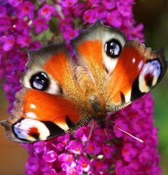 eyes of the butterfly!