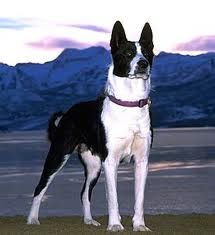 Karelian Bear Dog Breed Pictures and Information Bear Dog Breed, Bear Dogs, Doggies, Short Haired Border Collie, Mcnab Dog, Dog Breeds Pictures, Dog Crossbreeds, Collie Dog, Collie Puppies