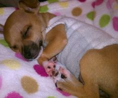 Sock Sweater-When I first got Mia, she could sit in the palm of my hand. At night she would cuddle in her blanket, trying to stay out of the cold. As a toy breed, ...