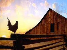 You could count on a rooster being at the barn and crowing at sunrise.it was their alarm clock Country Barns, Old Barns, Country Life, Country Living, Country Roads, Country Charm, Southern Charm, Southern Belle, Southern Living