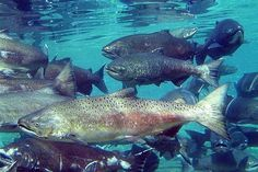 Reports Of Whopper Salmon Drawing Anglers To Lake Oahe | KDLT.com South Dakota News - News, Sports, and Weather Sioux Falls South Dakota