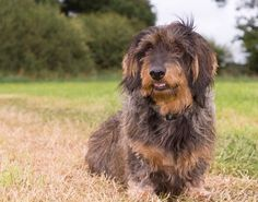 Wirehaired Dachshund Also Dagmar Standard Dachshund, Wire Haired Dachshund, Animal House, Baby Animals, Dog Breeds, Puppies, Pets, Google Search, Image
