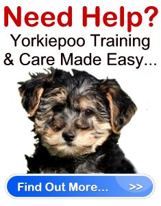 Training Yorkiepoo Puppies | YorkiePooSavvy.com