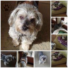 Shasta's Yorkie Yap-Doggie Day Care, Yosemite, Denise's B-day and Shasta's Gotcha Day!