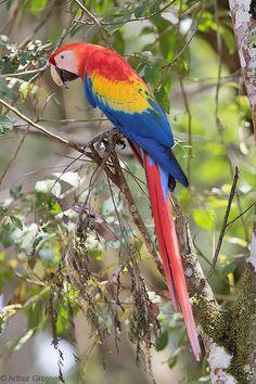 Scarlet Macaw - Ara macao | by arthurgrosset