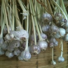 This year's garlic crop - waiting for it to cure!