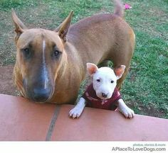 """""""Lovely grown-up EBT & baby in sweater! Chien Bull Terrier, British Bull Terrier, Bull Terrier Puppy, English Bull Terriers, Mini Bullterrier, Miniature Bull Terrier, Bully Dog, Terrier Breeds, Cute Funny Dogs"""