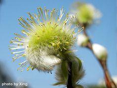 Salix garcilistyla
