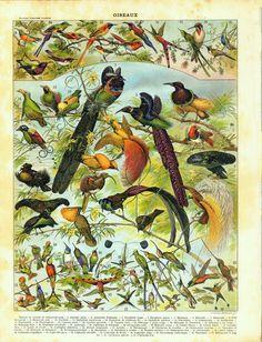 1910s Ornithology Vintage Print  Birds by CarambasVintage on Etsy, $16.00