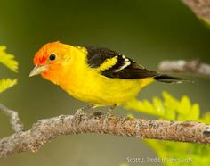 Western Tanager, Bend OR