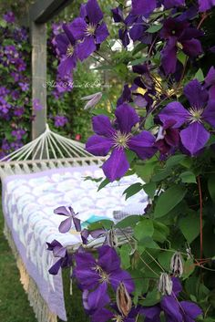 Aiken House & Gardens: Hammock Days Jackmani superbra clematis f Purple Lilac, Green And Purple, Purple Flowers, Purple Garden, Colorful Garden, Garden Picnic, Lavender Cottage, Malva, Flowering Vines