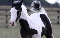 SGV Sahara's Reflection aka LEXIE, Shenandoah Gypsy Vanner filly Most Beautiful Horses, All The Pretty Horses, Baby Horses, Cute Horses, Horse Breeds, Zebras, Friends In Love, Animal Kingdom, Gypsy