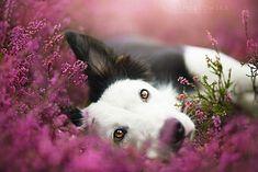 Verspielter Hund im Heideglück. #Hund #Tierfotografie