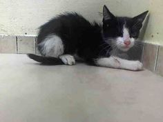 TO BE DESTROYED 8/25/14 ** ALLOWS HANDLING BUT IS SCARED IN SHELTER, CAME WITH LITTER MATES A1011097 AND 1011099 Brooklyn Center  My name is MINK. My Animal ID # is A1011098.  I am a male black and white domestic sh mix. The shelter thinks I am about 10 WEEKS old.   I came in as a STRAY on 08/18/2014 from NY 11420, Group/Litter #K14-190799.