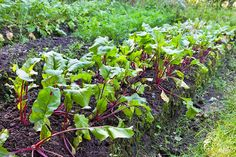 Beets are a cool-weather crop. Sow beets in the garden 2 to 3 weeks before the last average frost date in spring. via @harvesttotable