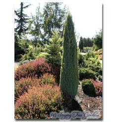 Genus: Juniperus Species: communis Compressa 4-5 ft to zone 3 only 1 ft wide