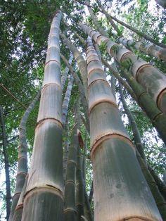 Gigantochloa Atroviolacea Java Black Bamboo Pinterest And