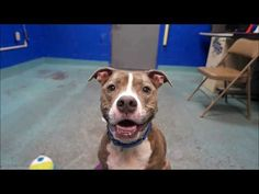 2/8/18 IN LOVING MEMORY❤️ BELLA WAS SENSELESSLY MURDERED WITH NO SECOND CHANCE GIVEN‼️ Hello, my name is Bella. My animal id is #19138. I am a desexed female gray brindle dog at the Brooklyn Animal Care Center. The shelter thinks I am about 8 years 1 weeks old.  I came into the shelter as a owner surrender on 25-Jan-2018, with the surrender reason stated as animal health – cannot afford vet bill.  Bella is at risk due to being diagnosed with Canine Infection Respiratory Disease Complex