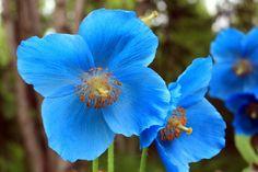 Pavot bleu de l'Himalaya, Meconopsis betonicifolia : conseils de plantation, de culture, de semis, d'entretien.