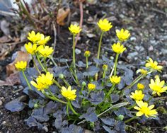 Ranunculus 'Brazen Hussy' Ranunculus, Shade Garden, Evergreen, Yard, Leaves, Pictures, Patio, Persian Buttercup, Courtyards