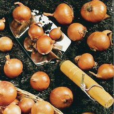 Shallot Bulbs - Red Sun Potato Onion, Sutton Seeds, Red Sun, Allium, Onions, Allotment, Bulbs, Garlic, Potatoes