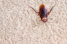 "Tip of the Day: If your home gets cockroaches, you know they can be even worse in the winter than in the summer! So here's another great tip for keeping them away without using a single harmful chemical. Buy catnip at the pet store, then submerge a tablespoon of the leaves in hot water and let sit for several minutes. Strain the resulting ""tea"" into a spray bottle, and spray the mixture in the kitchen, bathroom, and other areas where you've seen roaches every time you mop or vacuum. There's ..."