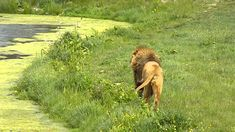 The Lion here is running parallel to the Lioness on the opposite side of the lake, the three different prides are luckily separated by high fences so none of...