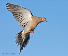 [][][] Mourning Dove. Order Columbiformes.