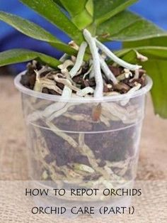 Repotting Orchids: Orchid Care (Part I)   Earthworm Technologies