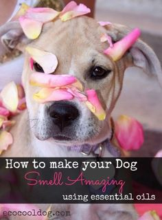 Here is an easy way you can make your dog smell amazing (with out a bath) using essential oils. #dogdiy