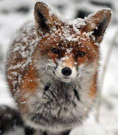 Snow dusted fox.