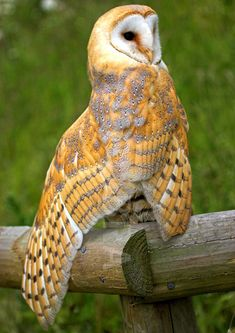 English Barn Owl!
