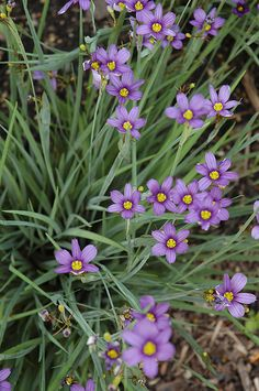 Lucerne Blue-Eyed Grass (Sisyrinchium angustifolium 'Lucerne') at English Gardens