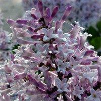 SH1890, SH1891, SH1892, Syr. patula Miss Kim, miss kim lilac, miss kim lilacs, miss kem, ms kim, ms kim lilac, lilak, lilec, lillac, lilic, lilek, lillak, bush, hedge, shrub, perple, purple flowers, fall color, upright, compact, fragrant, mildew resistant