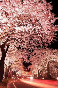 Cherry blossoms at night, Hitachi City, Ibaraki, Japan