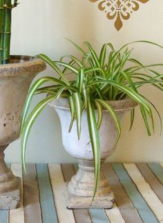 This is a perfect plant for those of you who are beginners at this and are not used to taking care of indoor plants. It's very resilient, it...